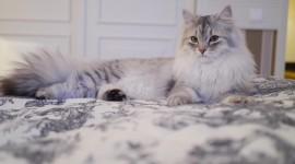 Siberian Cat Wallpaper Full HD