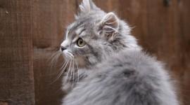 Siberian Cat Wallpaper Gallery