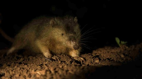 Solenodon wallpapers high quality
