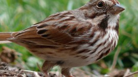 Sparrow Wallpaper Download Free