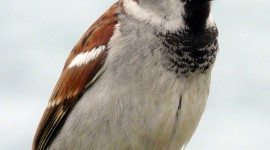 Sparrow Wallpaper For IPhone