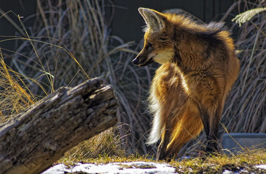 The Maned Wolf wallpapers HD