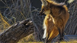 The Maned Wolf Best Wallpaper
