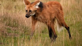The Maned Wolf Photo