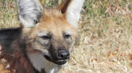 The Maned Wolf Photo Free