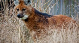 The Maned Wolf Photo#1