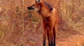 The Maned Wolf Photo#2