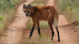 The Maned Wolf Photo#3