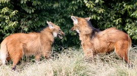 The Maned Wolf Pics