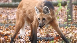 The Maned Wolf Wallpaper