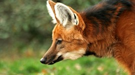 The Maned Wolf Wallpaper For Desktop