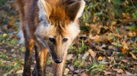 The Maned Wolf Wallpaper For Mobile