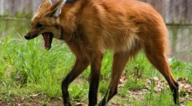 The Maned Wolf Wallpaper For PC
