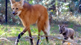 The Maned Wolf Wallpaper Full HD