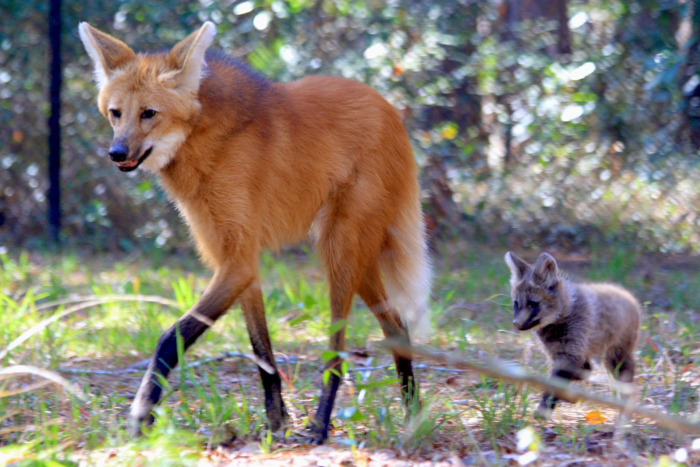 maned wolf Maned wolves resemble a red fox on stilts, although they are not related to foxes or members of the wolf family.