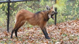 The Maned Wolf Wallpaper Gallery