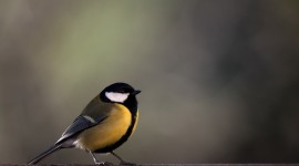 Tomtit Wallpaper