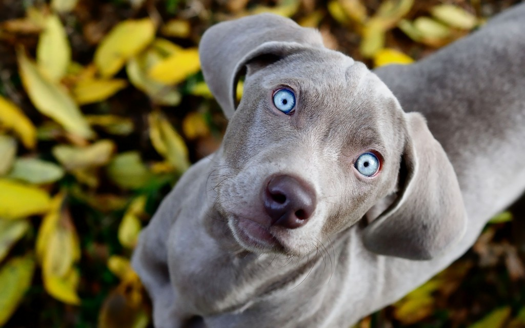 Weimaraner wallpapers HD
