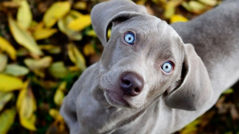 Weimaraner wallpapers high quality