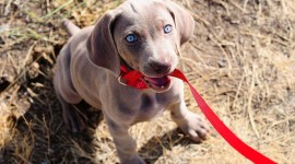Weimaraner Wallpaper Download Free