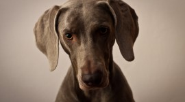 Weimaraner Wallpaper For Desktop