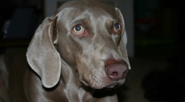 Weimaraner Wallpaper For PC
