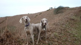 Weimaraner Wallpaper Full HD
