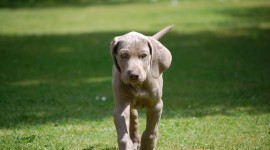 Weimaraner Wallpaper Gallery