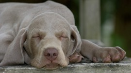 Weimaraner Wallpaper HQ
