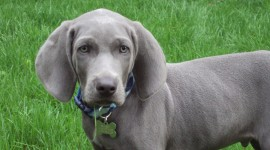 Weimaraner Wallpaper High Definition