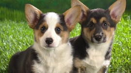 Welsh Corgi High Quality Wallpaper