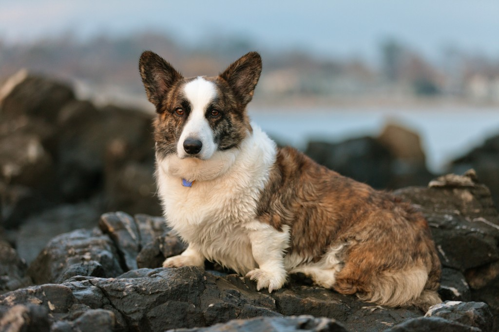 Welsh Corgi wallpapers HD