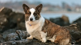 Welsh Corgi Wallpaper HQ