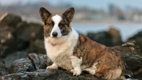 Welsh Corgi wallpapers high quality