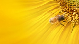 4K Bees Photo Download