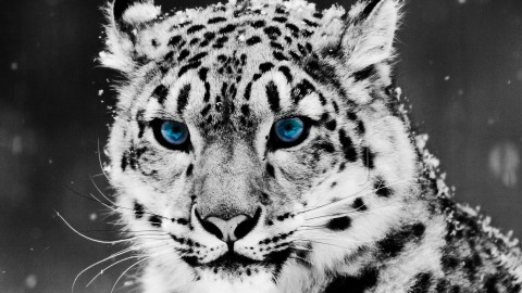 4K Snow Leopard wallpapers high quality