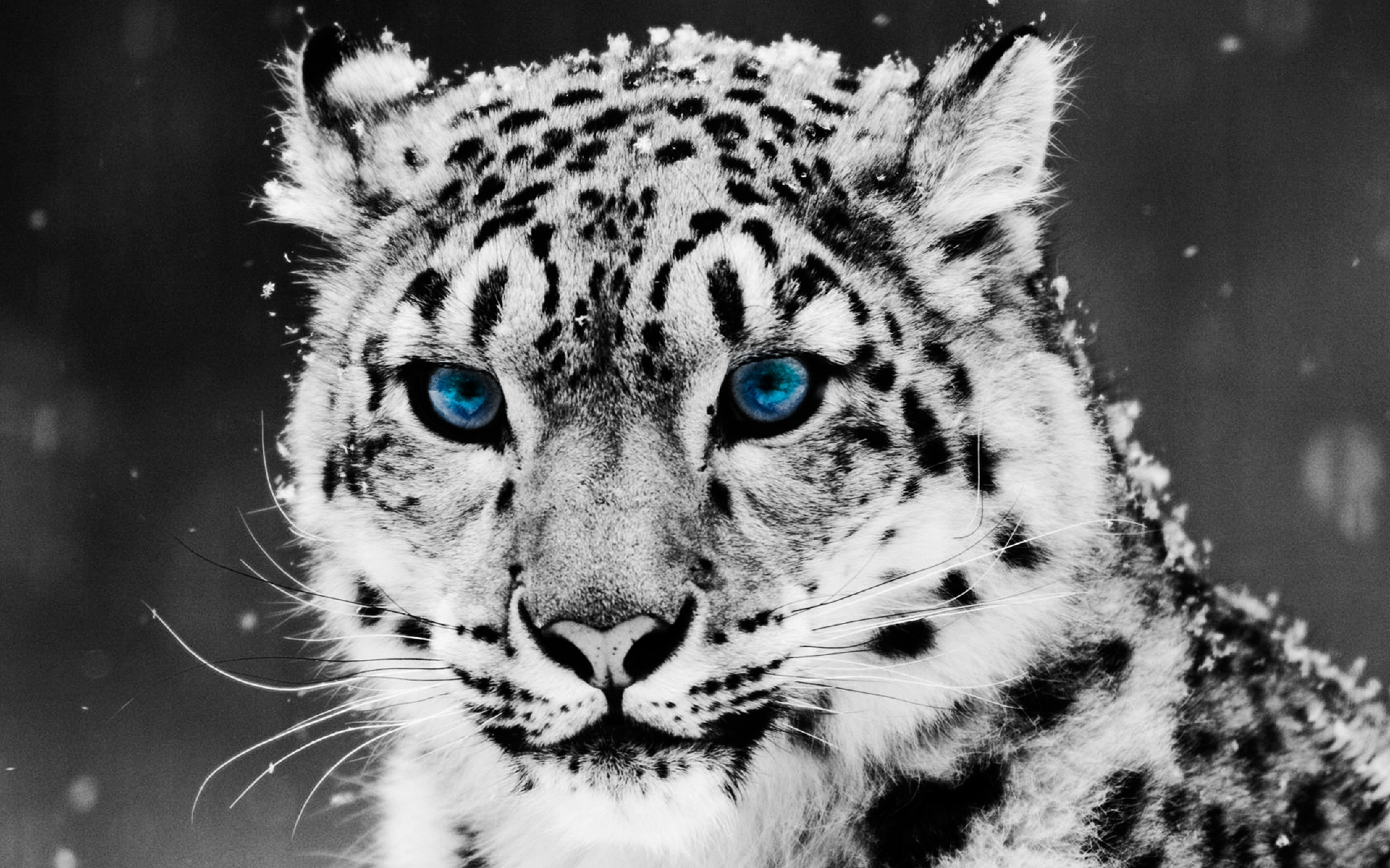 4k snow leopard wallpapers high quality download free