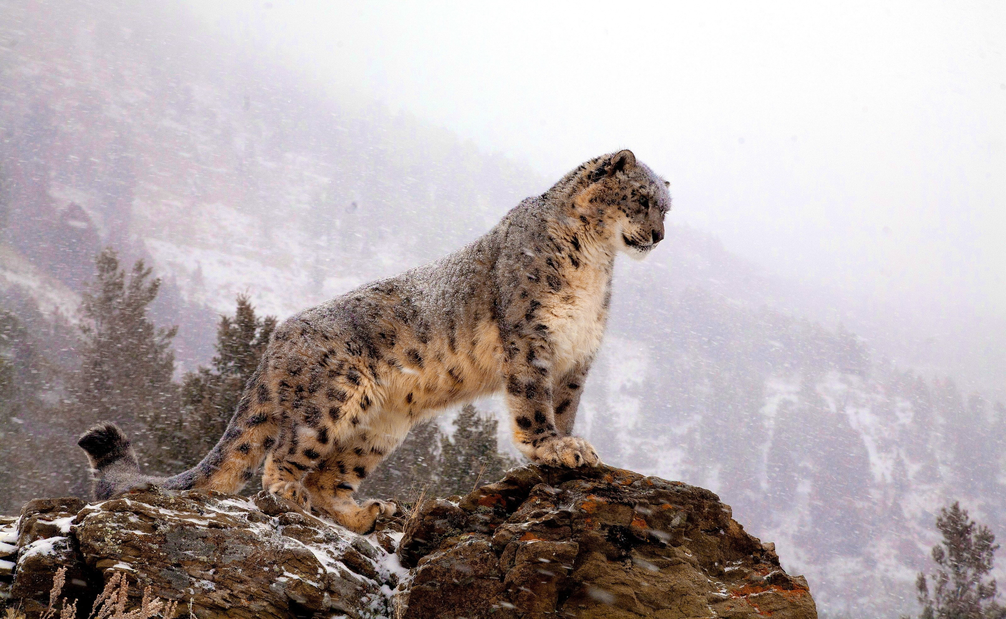 4K Snow Leopard Wallpapers High Quality | Download Free