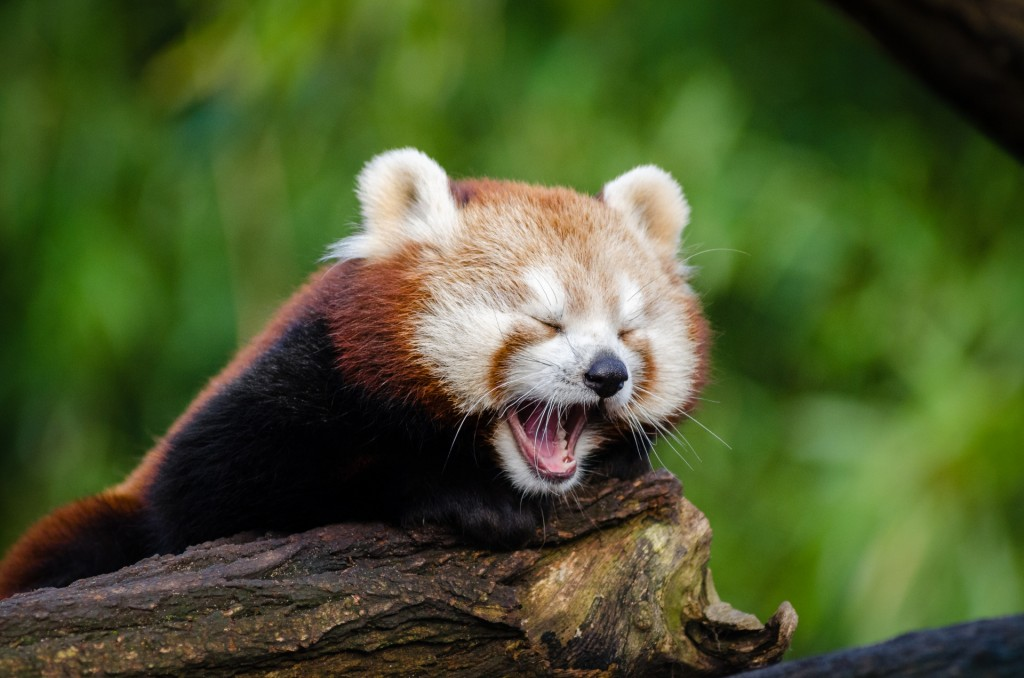 A Small Red Panda Wallpapers HD