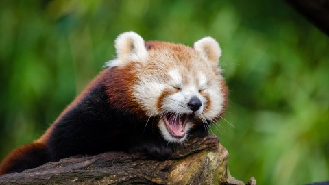 A Small Red Panda wallpapers high quality