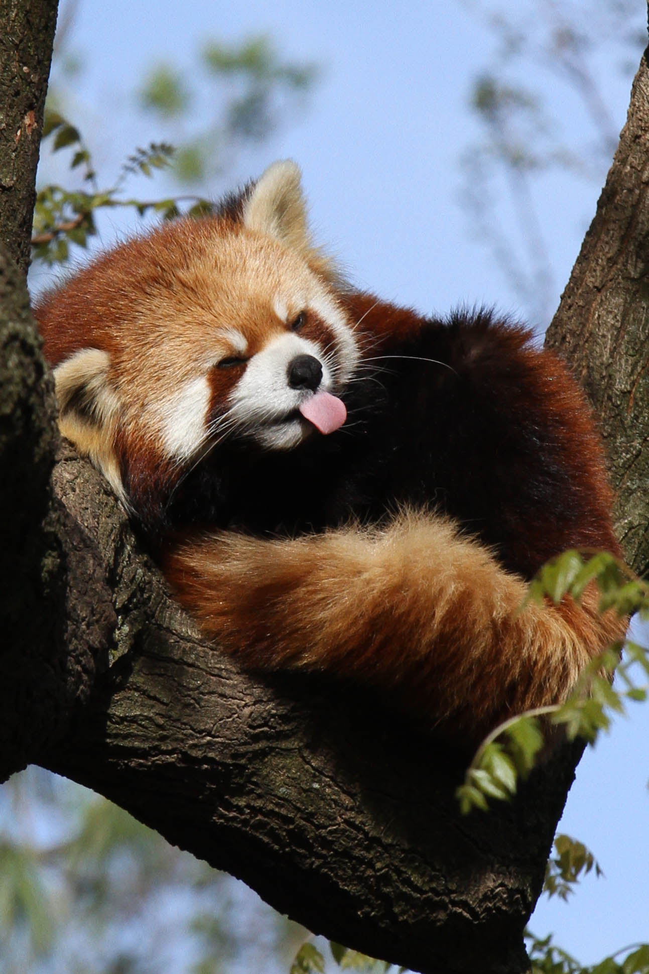 a small red panda wallpapers high quality download free