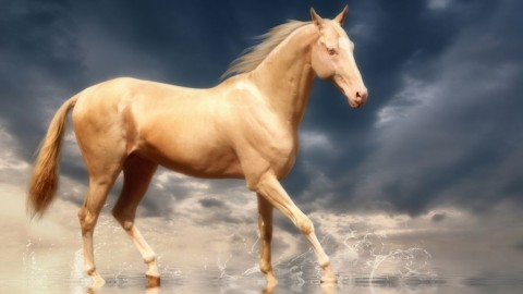 Akhal-Teke Horse wallpapers high quality