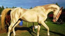 Akhal-Teke Horse Desktop Wallpaper HD