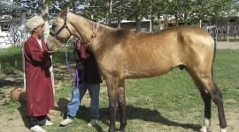 Akhal-Teke Horse Photo Free