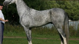 Akhal-Teke Horse Photo#1