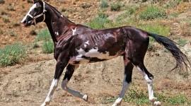 Akhal-Teke Horse Photo#2