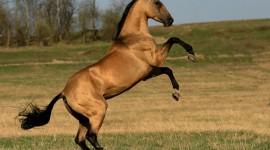 Akhal-Teke Horse Photo#3