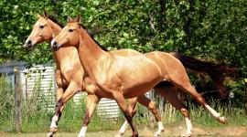Akhal-Teke Horse Pics