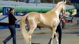 Akhal-Teke Horse Wallpaper