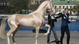 Akhal-Teke Horse Wallpaper For Desktop